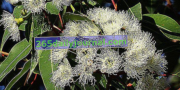 Eukaliptus (Eucalyptus spp.), Drzewo gumowe