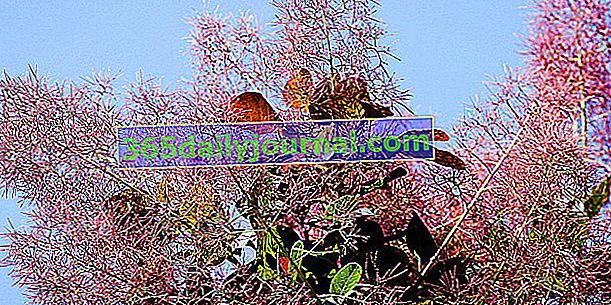 Peruka (Cotinus coggygria), krzew ozdobny w ogrodzie