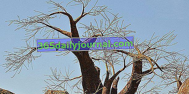 Baobab (Adansonia digitata), árbol de la vida