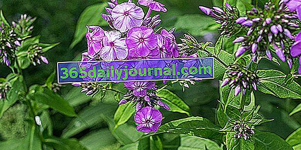 Phlox (Phlox spp.), Tanto florífero como fragante
