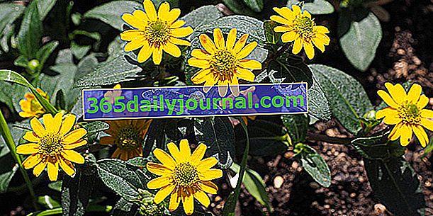 Sanvitalie (Sanvitalia procumbens), liána se žlutými květy