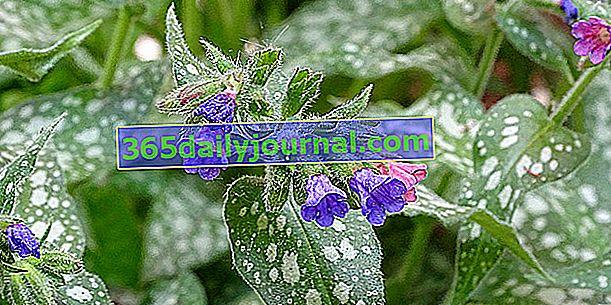Plicnice (Pulmonaria officinalis), plicník lékařský