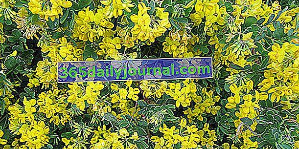 Jardín Coronilla (Coronilla emerus), falso baguenaudier