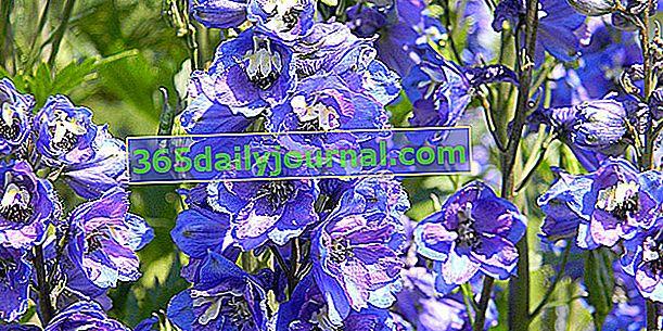 Pie de alondra o delfín (Delphinium spp.) Con tallos de flores azules