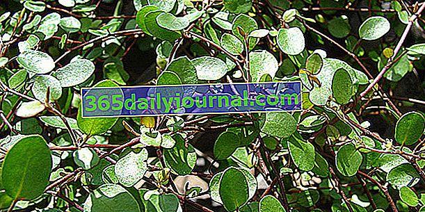 Muehlenbeckia (Muehlenbeckia), una planta entrelazada