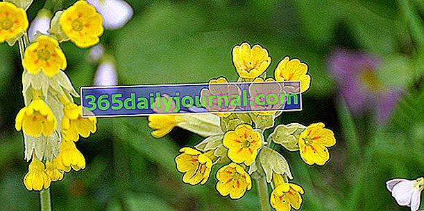Çuha çiçeği veya guguk: solunum yolu hastalıkları için