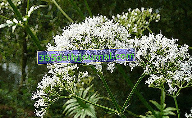 Valerian officinalis (Cetranthus officinalis)