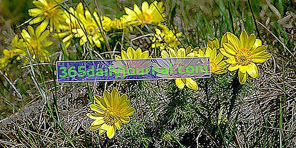 Jarní adonis: jedovatá kardiotonická rostlina