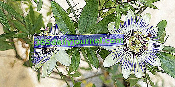 Pasiflora o flor de la pasión, calmante y calmante