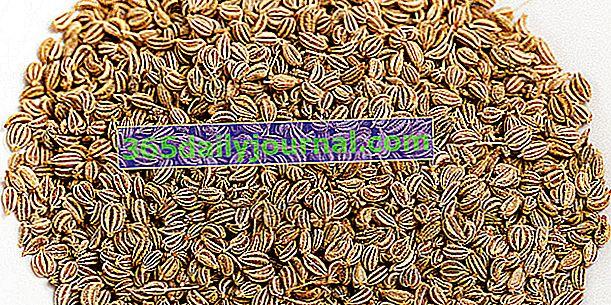 Ajowan lub indyjski tymianek: antyseptyczne nasiona