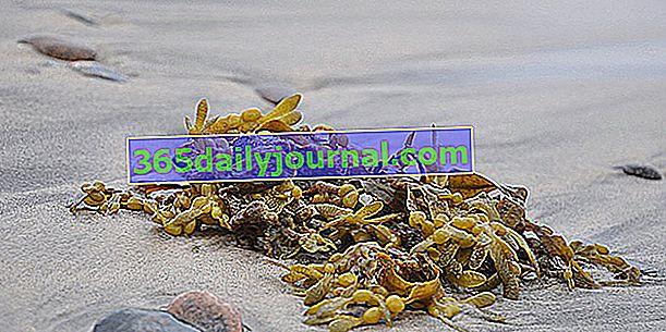Fucus: sredstvo za suzbijanje apetita kod smeđih algi