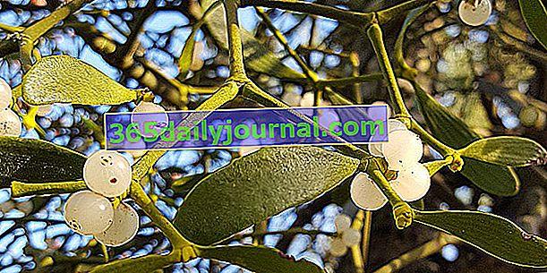 Jemioła (album Viscum), roślina druida