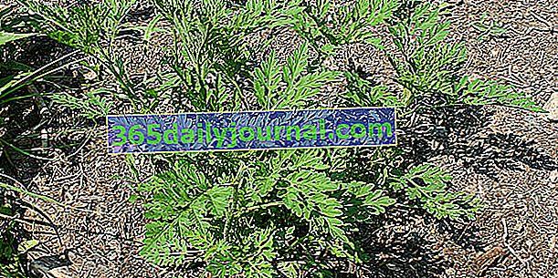 Ambrosia, una planta muy alergénica que hay que erradicar