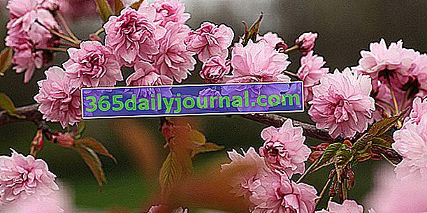 Národní sbírka asijských třešňových květů (74)