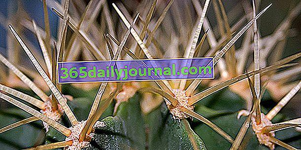Jak odstranit trny kaktusu?